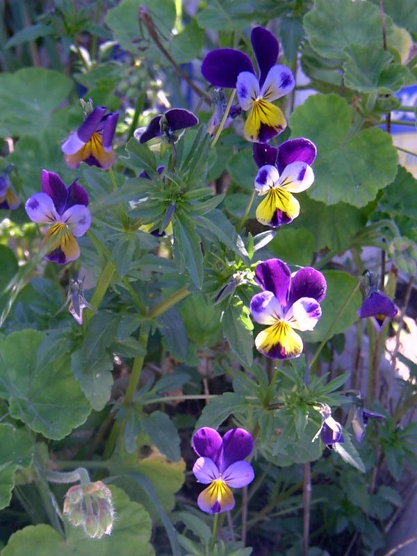 Pansies in the Sunlight